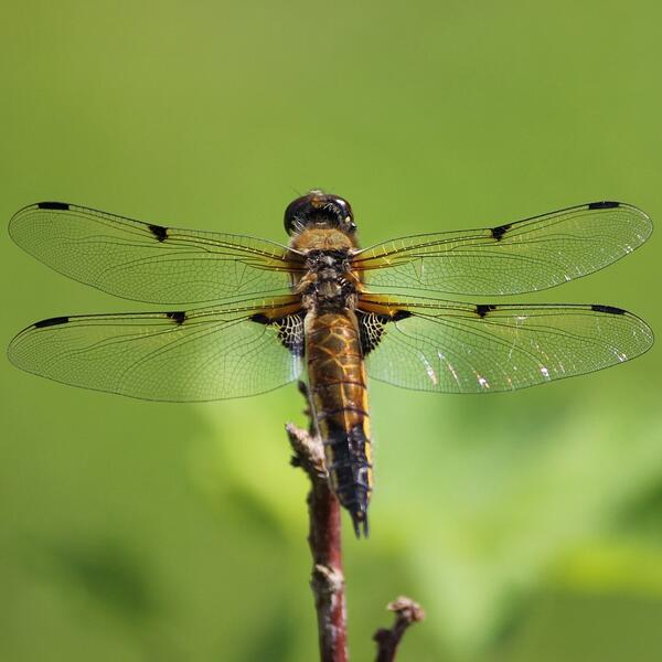 A dragonfly rests on a twig.
