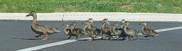 Image of a mamma duck followed by a flock of ducklings