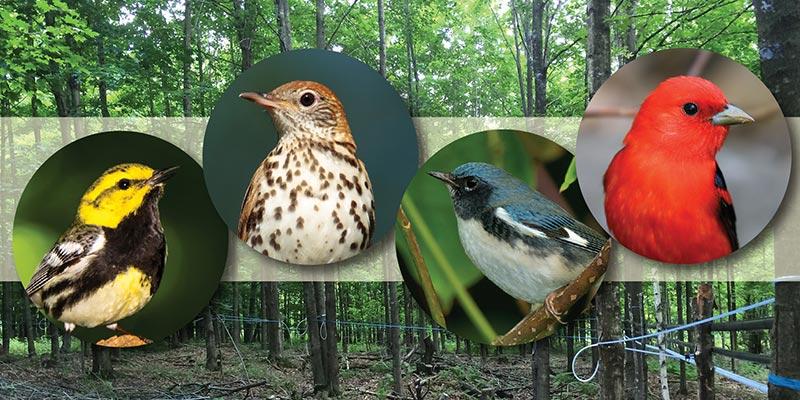Audubon Vermont Bird Friendly Maple